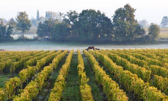 Sauternes (foto Brambilla Serrani)
