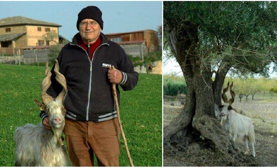 Giacomo Gatì con una sua capra e, a destra, capra girgentana e ulivo, presenti in Sicilia da millenni
