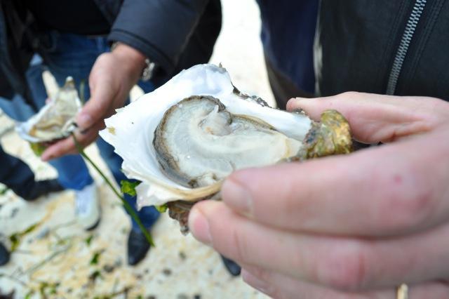 L'ostrica triploide èriconoscibile dall'umbone ricurvo