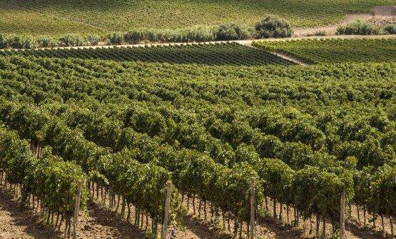 La Sicilia è la prima regione in Italia per vitic