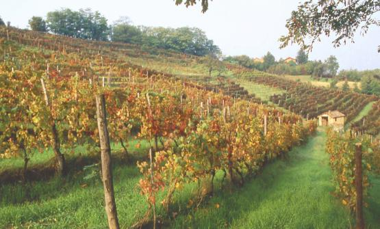 Un vigneto di Timorasso: questo vitigno storico de