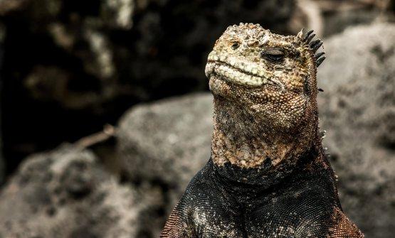 L'iguana, simbolo dell'arcipelago amato da Charles Darwin