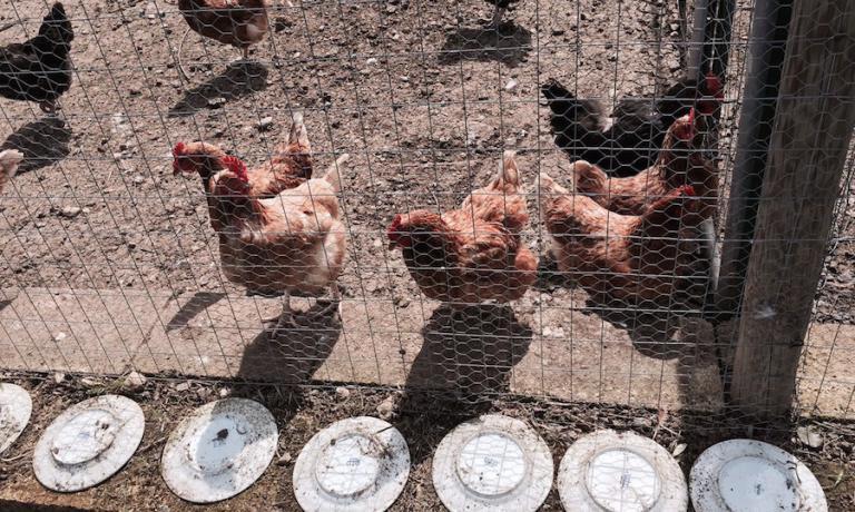Le galline nell'orto di Pietro Zito. I piatti appoggiati tutt'attorno, vecchi e scheggiati, non più utili al ristorante, servono contro le volpi che se li calpestano fanno rumore e spaventano le galline