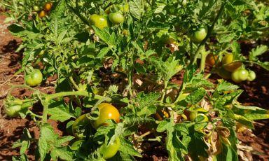 I pomodori di Prim'Orto, nuovo progetto agricolo di Solaika Marrocco, chef del ristorante Primo a Lecce