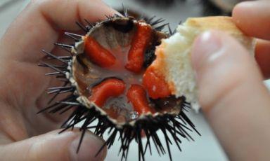 Il modo migliore per apprezzare i ricci di mare è fare scarpetta nel guscio con un pezzo di pane. Nel Brindisino è iniziata da poco la stagione delle scorpacciate di ricci, da consumare in riva al mare a multipli di 50. Un indirizzo? Albachiara a Savelletri, frazione di Fasano, Brindisi, daGiannino e Maria Grazia,+39.339.5365659