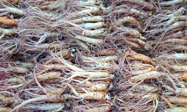 Radici di ginseng accatastate a Noryangin, il più grande mercato di pesce e verdure di Seul. La cucina della megalopoli asiatica è al centro dell'attenzione mondiale per lo spazio che dedica da sempre al cibo fermentato. E per una generazione di giovani grandi cuochi che stanno ridefinendo la grammatica gastronomica del paese. Siamo andati a scoprirli (foto e fotogallery di Gabriele Zanatta)