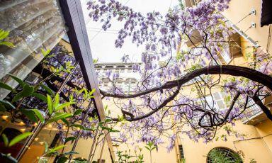 Il magnifico glicine in fiore nel cortile di Identità Golose Milano