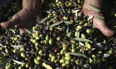 A livello mondiale, l'India è il primo importatore di olio d'oliva: negli ultimi 3 anni i valori sono cresciuti del 40-50%. Sono i dati più rilevanti di una ricerca condotta daCeq-Consorzio Extravergine di Qualità