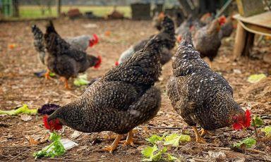 La stalla delle galline che cantano: Andrea Costantini e le Grise di Enrico Morando