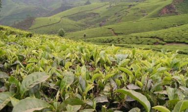 Piantagioni di tè Darjeeling nel Bengala Occident
