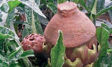 Il carciofo violetto di Castellammare con la tradizionale copertura in terracotta