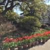 I vasi di tulipani nel giardino della residenza del governatore di Hyogo