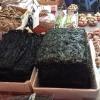 Gim, le splendide alghe coreane, disidratate e spesso condite con sesamo. «La nostre sono le migliori», si vantano