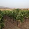Dalle vigne della Cantina Lilliu diUssaramanna esce anche il Dicciosu, un convincente Cannonau