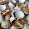"""Venus clams. Molluschi di Limfjord (Danimarca) da mangiare confusi tra conchigliedecorative, un registro tipico del Noma. Accanto compaiono anche conchiglie con olio di legno di ribes nero (blackcurrant, la nota più ricorrente di tutto il menu)e """"danish curry"""", ottenuto da semi di coriandolo tostati, finocchio e semi di finocchietto"""