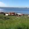 Le vacche