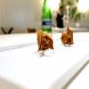 Caramella di cipolla, mango e fegato grasso. La cipolla viene seccata per ricavarne un velo, poi messa sulla teglia e completata col ripieno. «E' la tecnica dei brigidini»,racconta Bartolini, scusate la rima. Tipici di Lamporecchio, lui è di Larciano, 6 km scarsi di distanza
