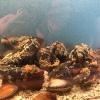 A lati dell'acquario nuotano le oloturie ed enormi granchi artici
