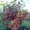 A Salina esistono anche piante di capperi vecchie di oltre 150 anni, come questa