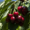 The Best Farm Award goes toAgios Loukas, an agricultural cooperative from Raki, thanks to its high quality cherry production on Mount Olympus. 90% of the production is exported. Tel: +30.235.1098711