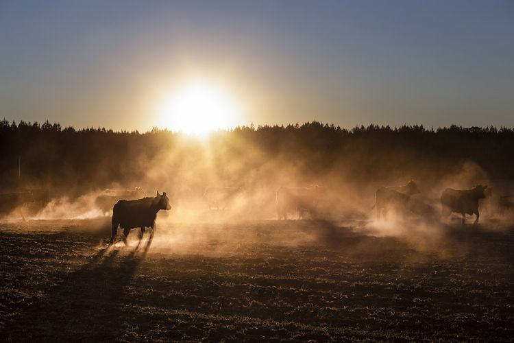 Cattle, gauchos, and the endless plains of the pampas in Argentina