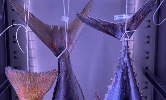 Pesci maturatinellecellefrigorifera aozono delTunnel, accanto al ristorante Madonnina del Pescatore di Moreno Cedroni