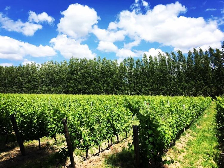 Piero's goal, when he started planting Pinot Noir here was not just to make an exceptional wine, but also to produce an interpretation as free and transparent as possible of the place