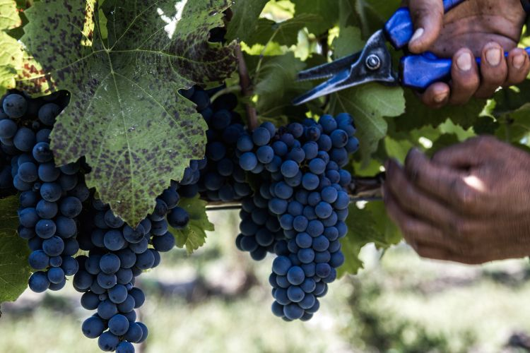 The harvest of Pinot Noir started on the 12th February: a very early harvest, so that the grapes showed a magnificent acidity