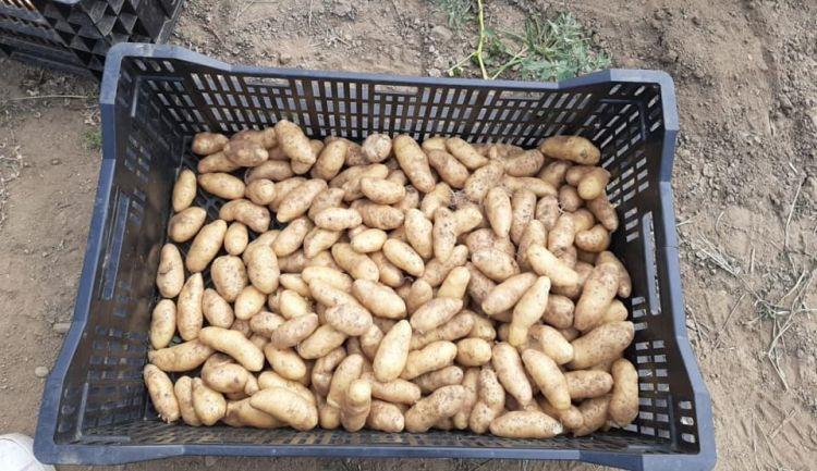 Le patate Ratte di Terre Alte