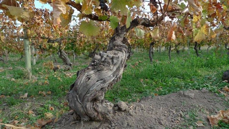 The ancient vines atBodega Chacra.An exceptional genetic heritage that has adapted over the decades.