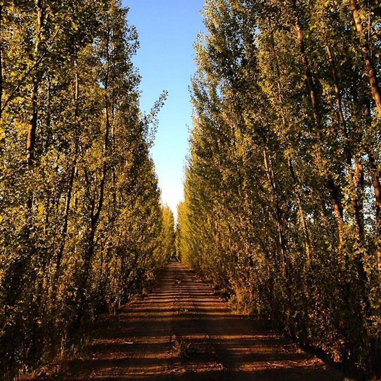 The lines of poplars planted byPiero