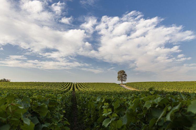 Una suggestiva immagine delle vigne di Ca' Del Bosco - foto Giuseppe La Spada