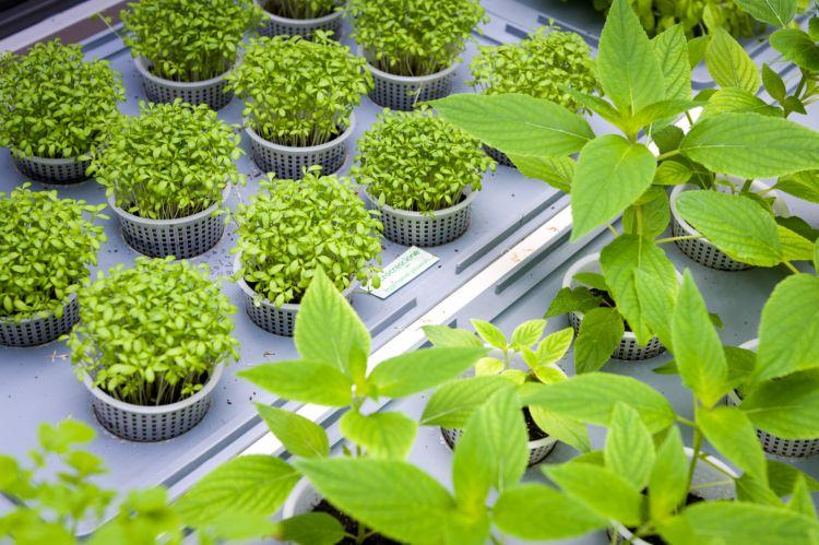 I germogli coltivati nella serra anteposta alla cucina di EraGoffi con metodi sostenibili che sfruttano l'umidità dell'aria