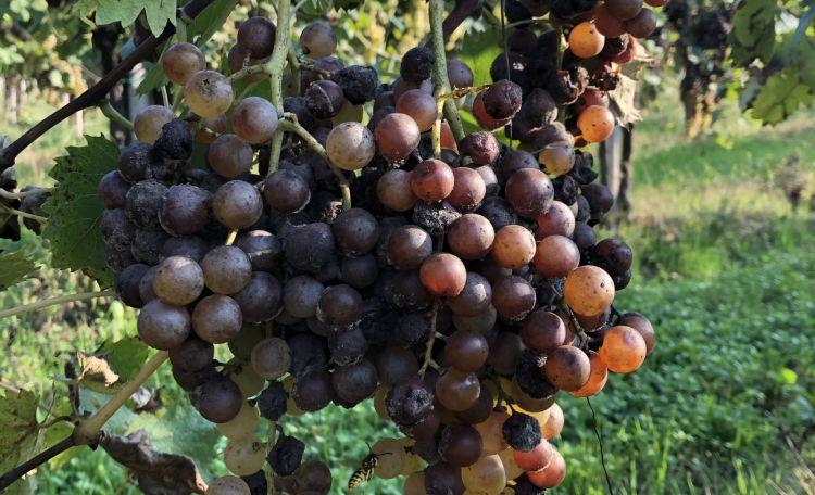 La botrytis cinerea è una muffa nobile che attacca gli acini dell'uva in fase di maturazione, così da creare un feltro sull'acino che appassisce per evaporazione, elevando la concentrazione zuccherina-aromatica. Questo fenomeno è tipico della prestigiosa regione dei Sauternes