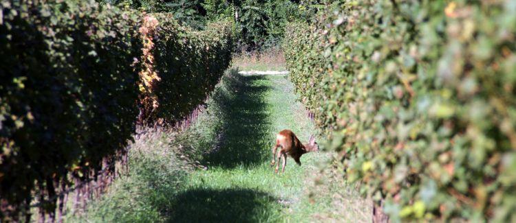 Visite in vigna: c'è anche un cerbiatto. La tenuta è di 300 ettari, la maggior parte dei quali di bosco
