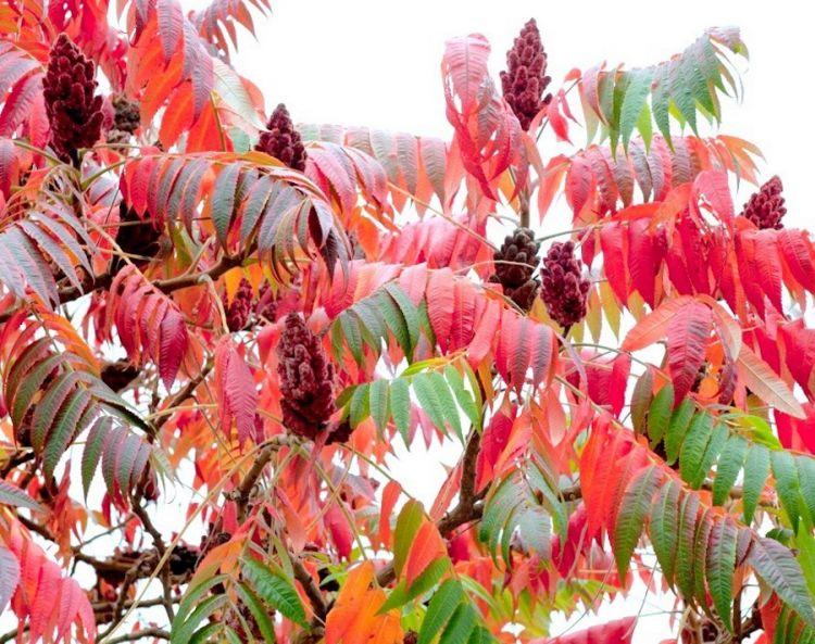 La piante del sumac in autunno, in cucina si usano le sue bacche rosse