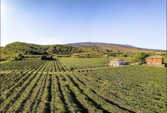 Uno scorciodelle vigne dell'Etna dove vengono coltivate le due D.O.C. Etna Bianco edEtna Rosso Contrada Montedolce