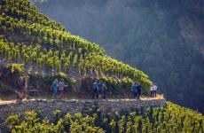 Una spettacolare passeggiata nel cuore dei vigneti del Canton Vallese, nella Svizzera Sud-Occidentale al confine con Valdaosta e Alto Piemonte. Un distretto da scoprire