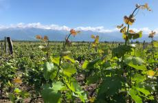 Vineyards in Rkatsiteli on the Kakheti plateau, in eastern Georgia. In the background, the mountains of the Greater Caucasus. Here people used to drink wine some 8000 years ago, 5000 years before it became popular in the current continental Europe (photo by Zanatta)