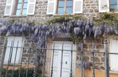 The wisteria on the façade of Auberge de Clochemerle, restaurant with a Michelin star in Vaux-en-Beaujolais, France