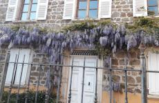 Il glicine sulla faciata dell'Auberge de Clochemerle, ristorante con una stella Michelin aVaux-en-Beaujolais, Francia