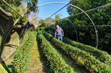 Guido Cattolica nella sua piantagione di Camellia sinensis - ossia la pianta del tè - nei dintorni di Lucca