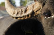 Lode alla bufala e all'ottimo luna park del gusto che le è cresciuto attorno (fotoCaseificio Barlotti)