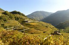 I vigneti di Cantina Cembra, in Trentino