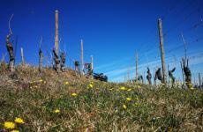 Le vigne sulla collina San Michele
