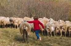 L'agnello carsolino salvato dall'estinzione tramite un progetto di adozione aperto al pubblico