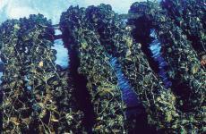 Allevamenti di cozze a cura dellaCooperativa Mitilicoltori SpezzinidiLa Spezia